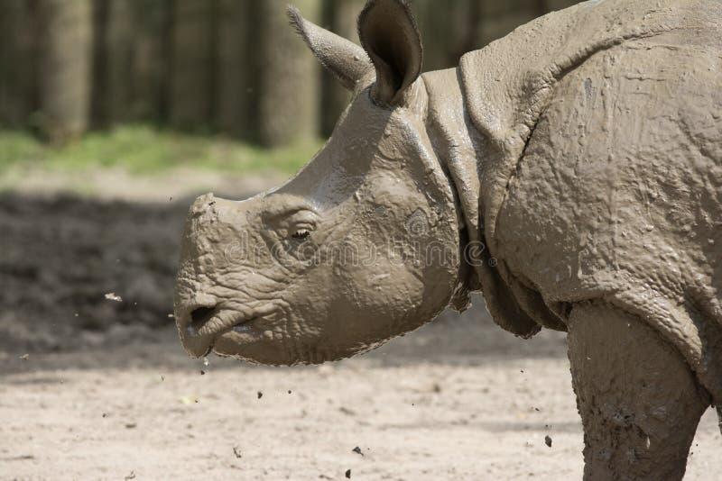 Rinoceronte após um banho de lama imagens de stock