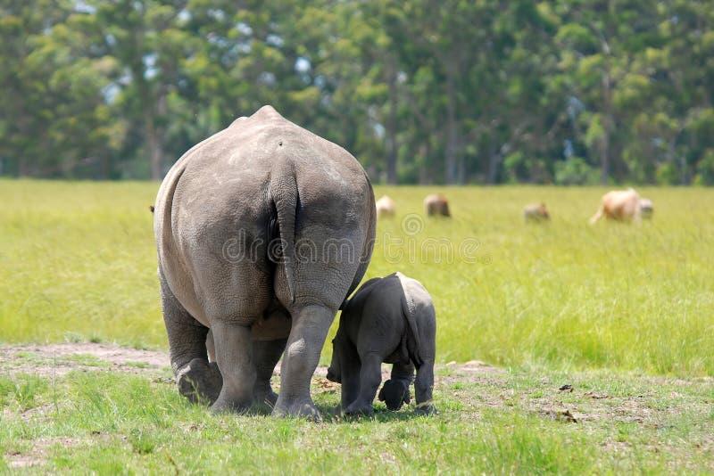 Rinoceronte bianco con un vitello da 5 settimane fotografie stock libere da diritti
