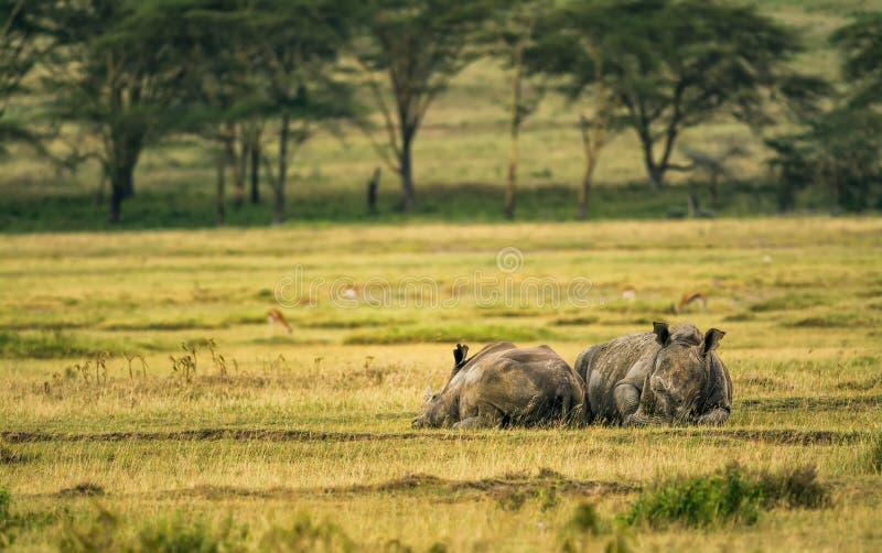 Rinoceronte bianco in lago Nakuru National Park, Kenya fotografia stock