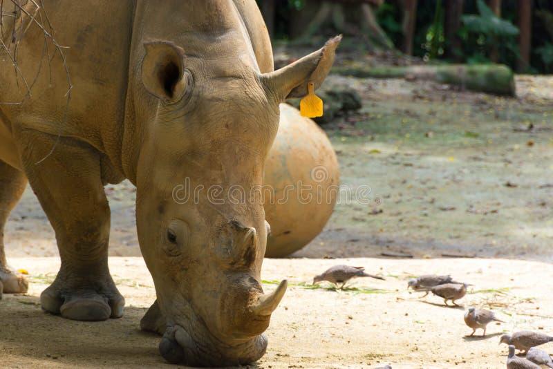 Rinoceronte bianco mentre mangiando il suo alimento fotografia stock