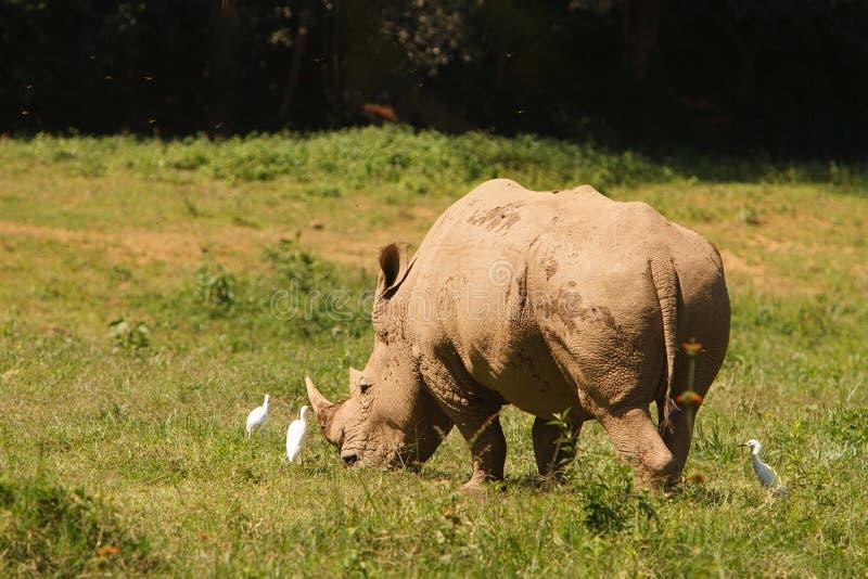 Rinoceronte bianco minacciato che pasce sull'erba fresca fotografia stock