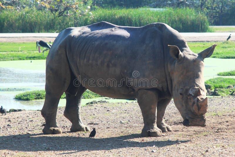 rinoceronte bianco nel safari fotografia stock