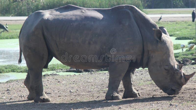 rinoceronte bianco nel safari fotografie stock