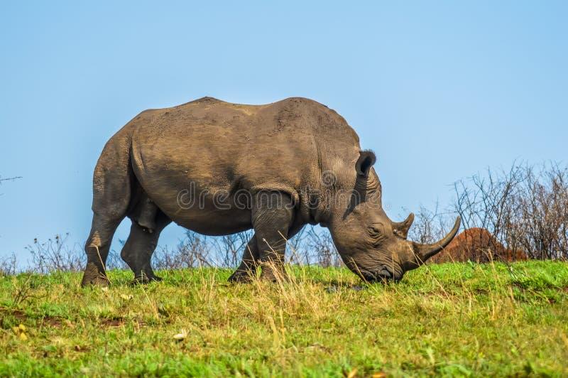 Rinoceronte bianco sveglio o rinoceronte del toro maschio in una riserva di caccia dentro così fotografia stock