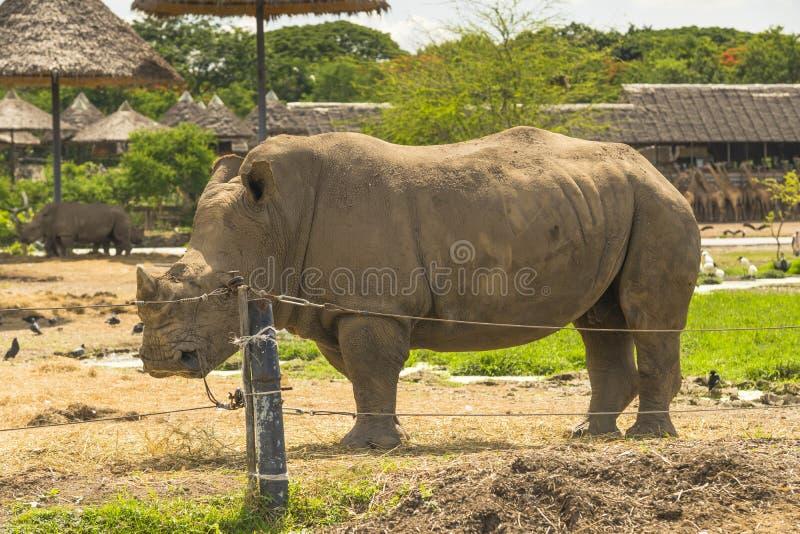 Rinoceronte blanco africano foto de archivo libre de regalías