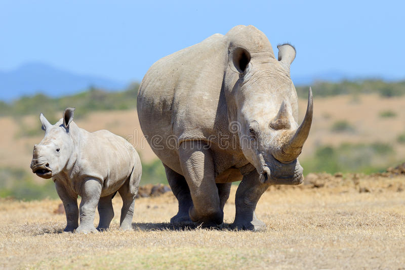 Rinoceronte blanco africano imagen de archivo