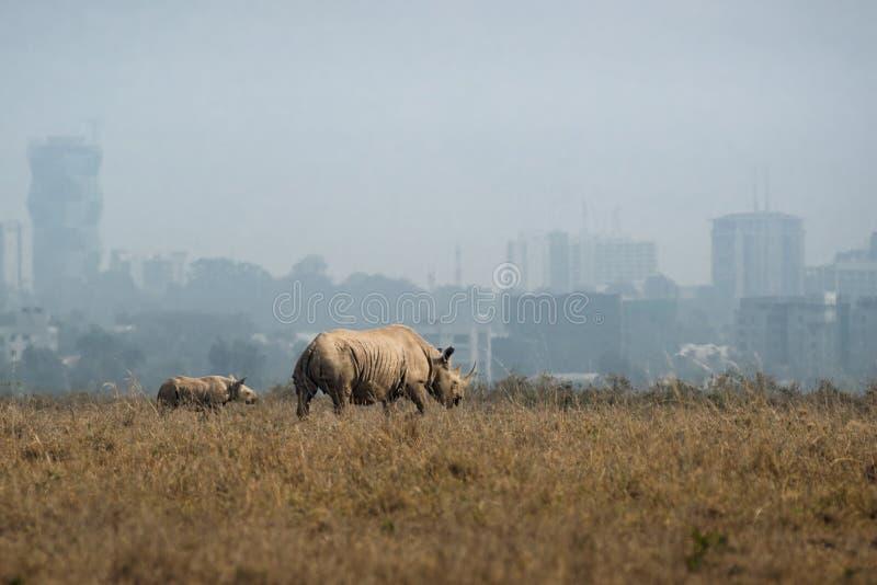 Rinoceronte blanco con el bebé en el fondo de la ciudad imagenes de archivo
