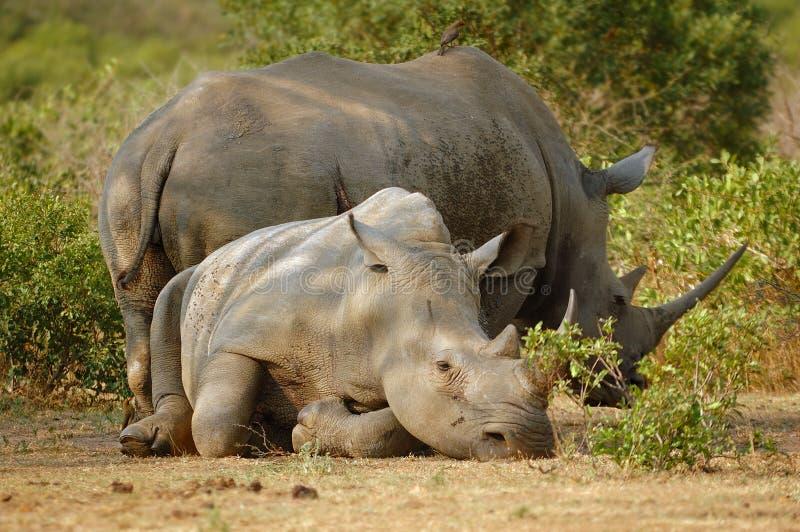 Rinoceronte blanco con Oxpecker foto de archivo libre de regalías