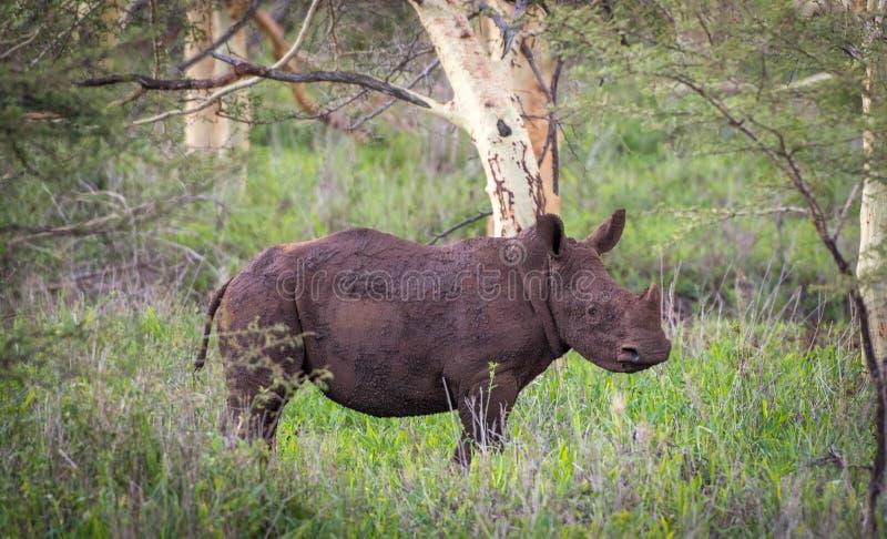 Rinoceronte blanco del bebé en el arbusto africano foto de archivo