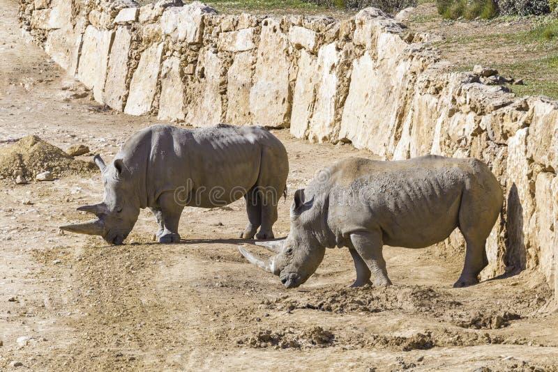 Rinoceronte blanco dos en el salvaje fotografía de archivo libre de regalías