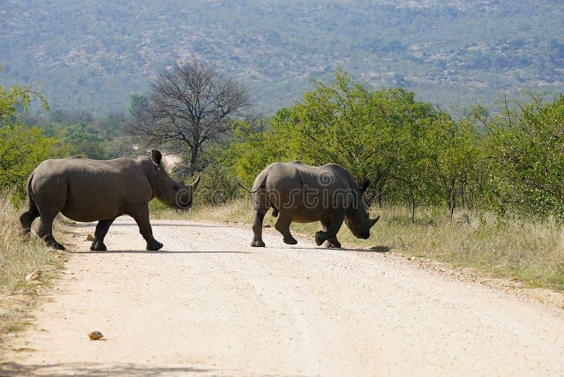 Rinoceronte blanco en el parque nacional de Kruger fotografía de archivo libre de regalías