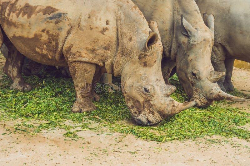 Rinoceronte blanco en la naturaleza hermosa Animales salvajes en cautiverio Especie prehistórica y en peligro en parque zoológico fotos de archivo