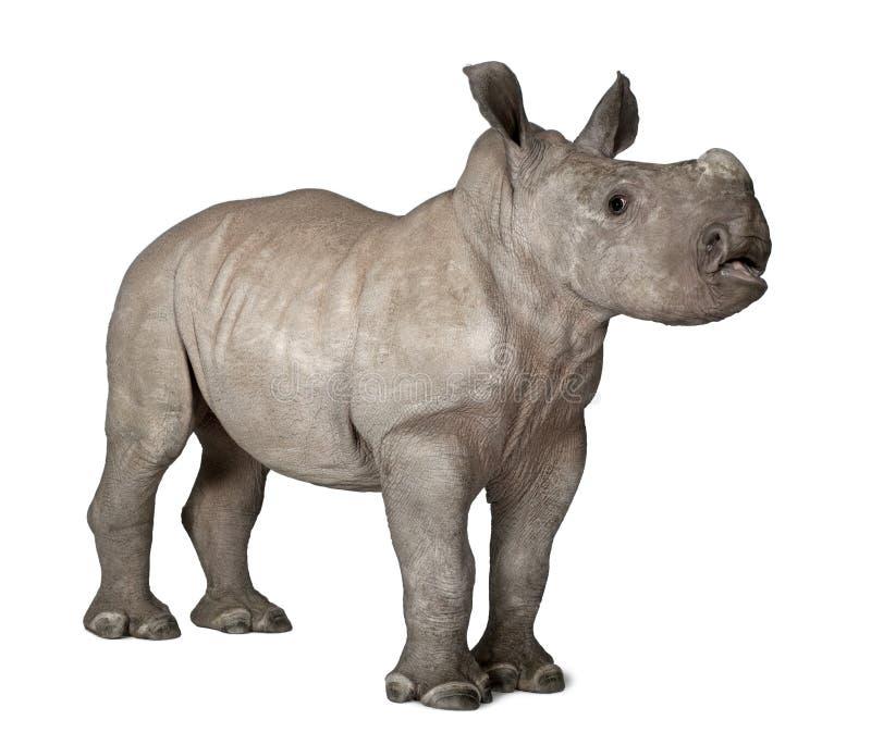 Rinoceronte blanco joven contra el fondo blanco foto de archivo