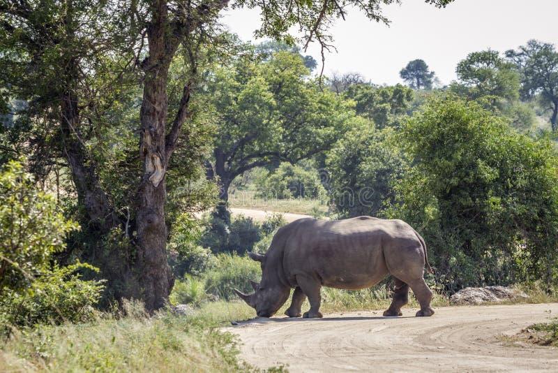 Rinoceronte blanco meridional en el parque nacional de Kruger, Sur?frica imagen de archivo