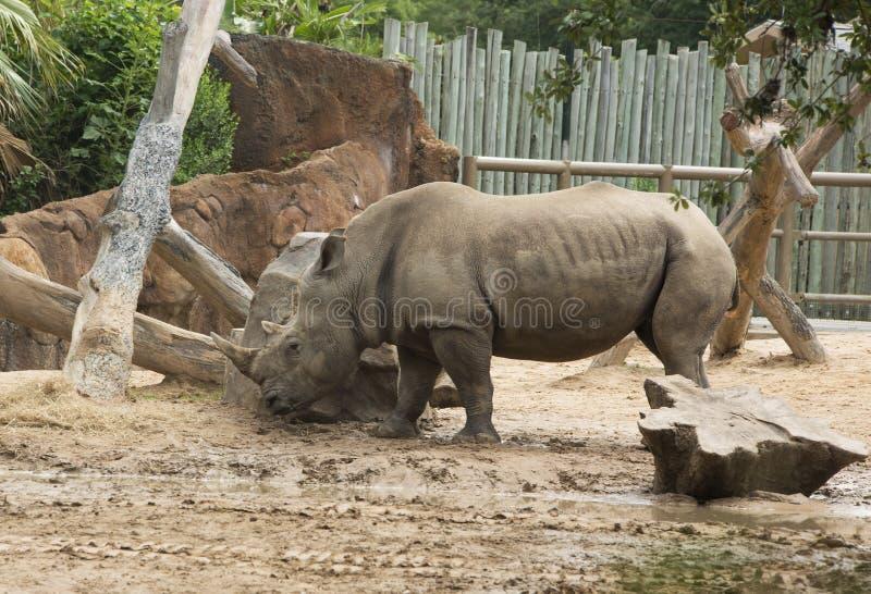 Rinoceronte blanco meridional en parque zoológico imagenes de archivo