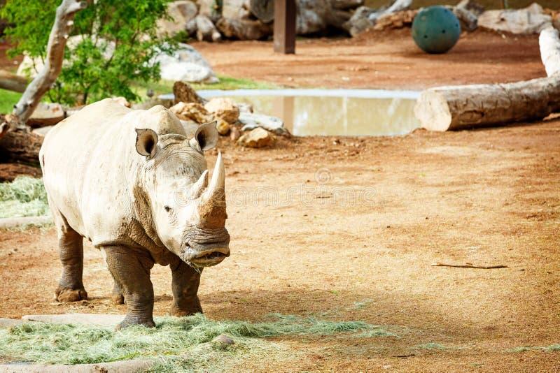 Rinoceronte blanco nuevo en el parque zoológico de Phoenix imagen de archivo