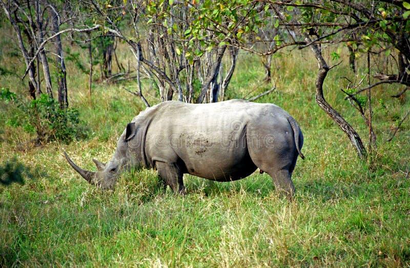 Rinoceronte blanco, parque nacional de Kruger, república surafricana foto de archivo