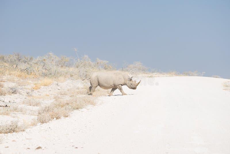 Rinoceronte blanco que cruza el camino en el parque nacional de Etosha, destino del viaje en Namibia imagenes de archivo