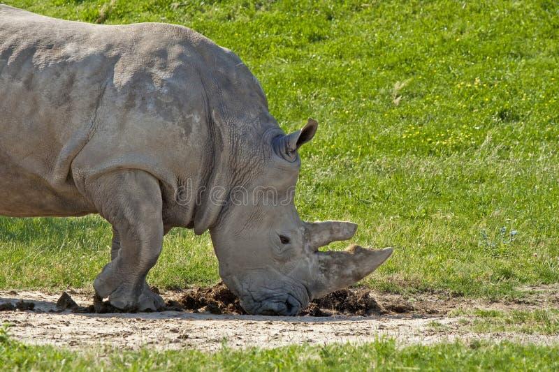 Rinoceronte blanco que huele poo foto de archivo