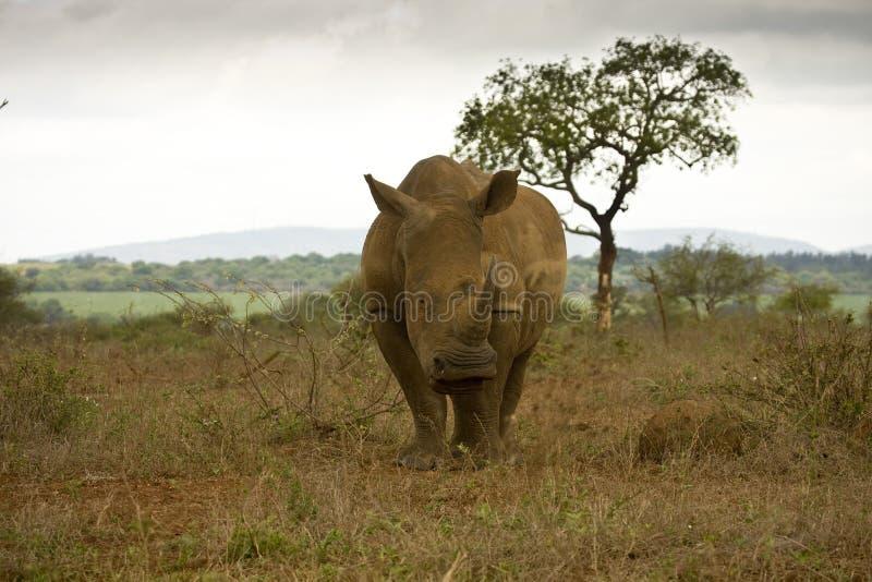 Rinoceronte blanco salvaje en el parque nacional de Kruger, SURÁFRICA imagen de archivo libre de regalías