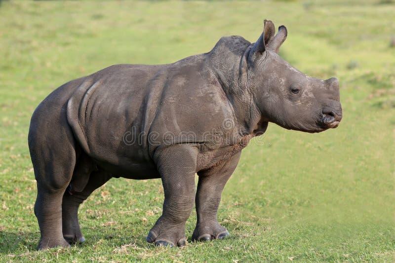 Rinoceronte bonito do branco do bebê imagens de stock