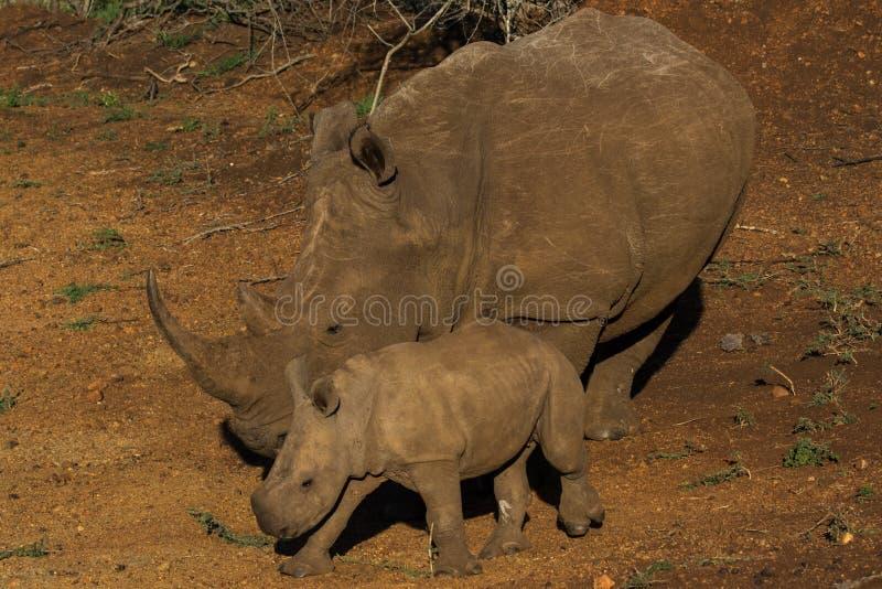 Rinoceronte branco com a vitela em África do Sul foto de stock