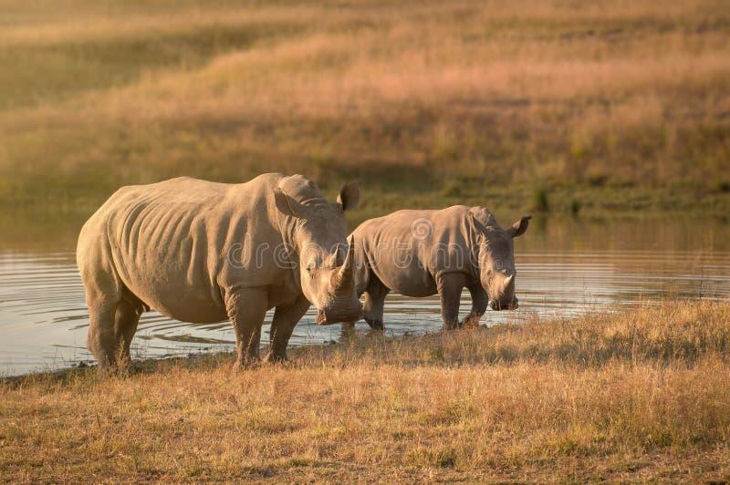Rinoceronte branco com a vitela em ?frica do Sul imagens de stock