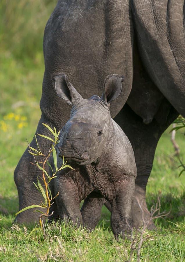 Rinoceronte branco do bebê pequeno imagem de stock