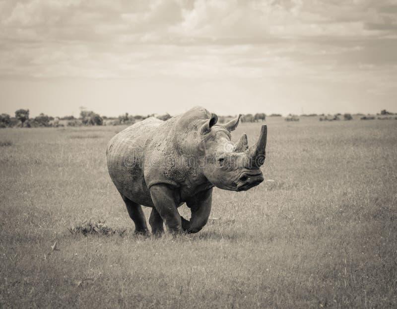 Rinoceronte branco do sul fotografia de stock