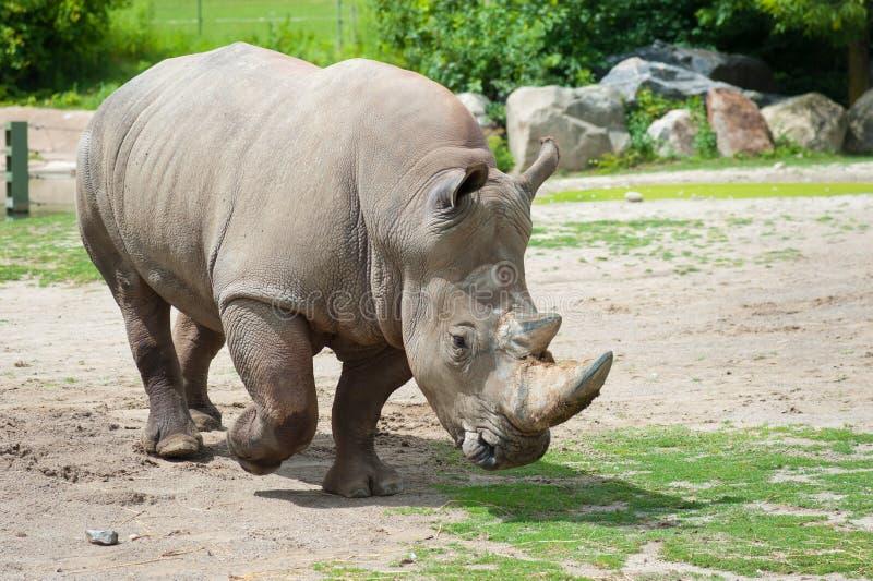 Rinoceronte branco do sul imagem de stock royalty free