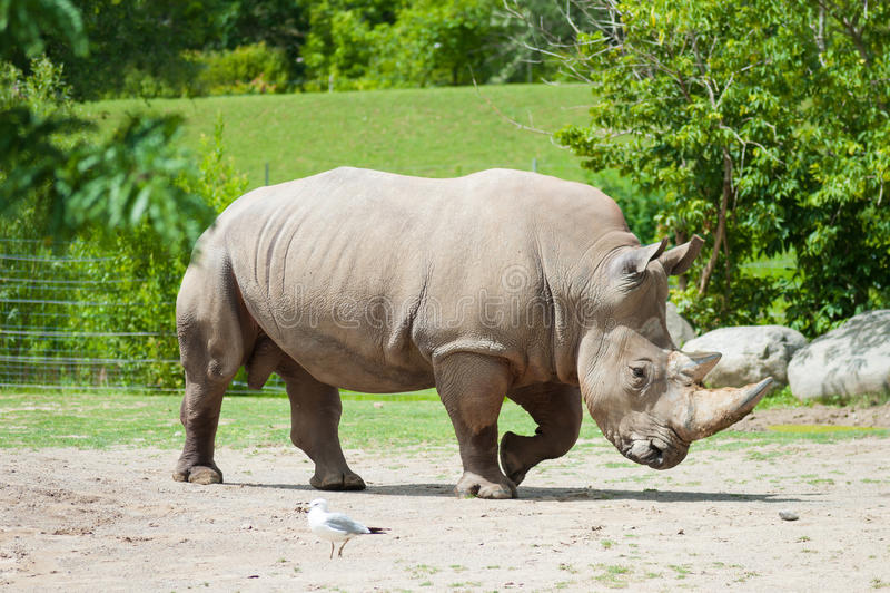 Rinoceronte branco do sul imagens de stock royalty free