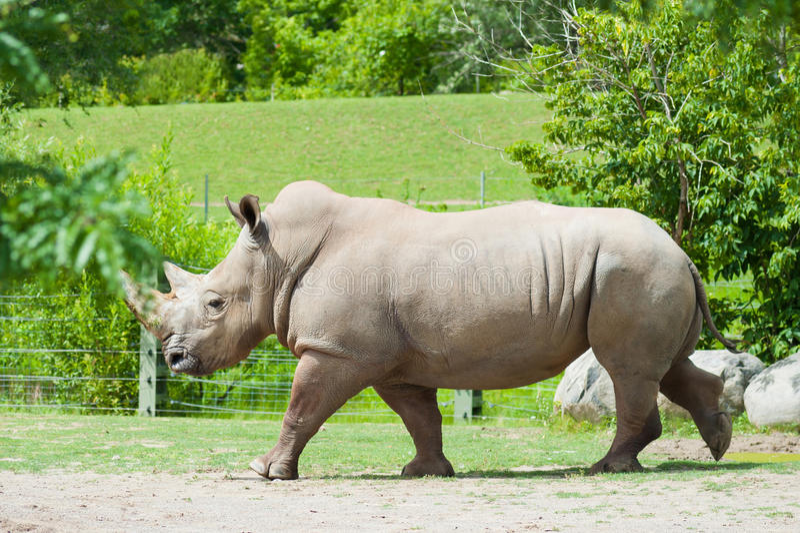 Rinoceronte branco do sul fotografia de stock royalty free