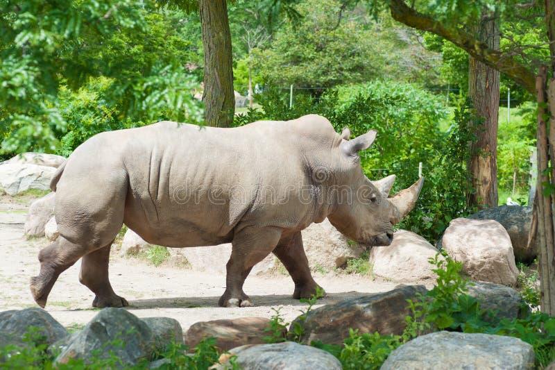 Rinoceronte branco do sul imagens de stock