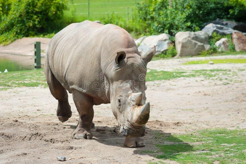 Rinoceronte branco do sul foto de stock