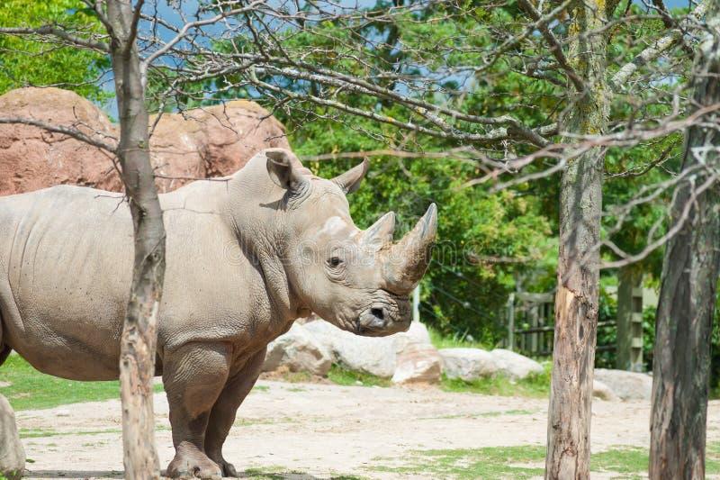 Rinoceronte branco do sul foto de stock royalty free