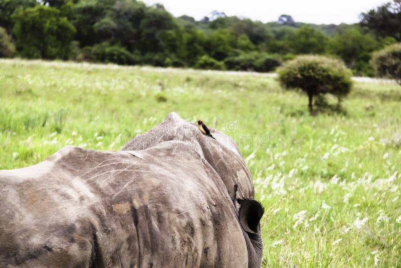 Rinoceronte branco do sul com Oxpecker fotos de stock