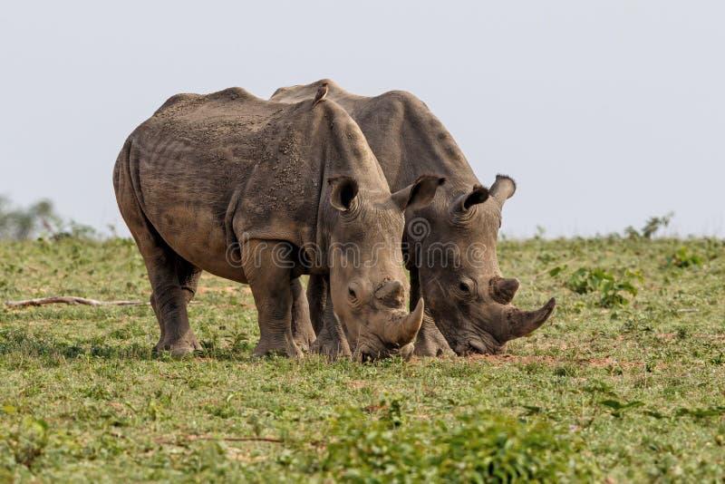 Rinoceronte branco em África do Sul foto de stock royalty free