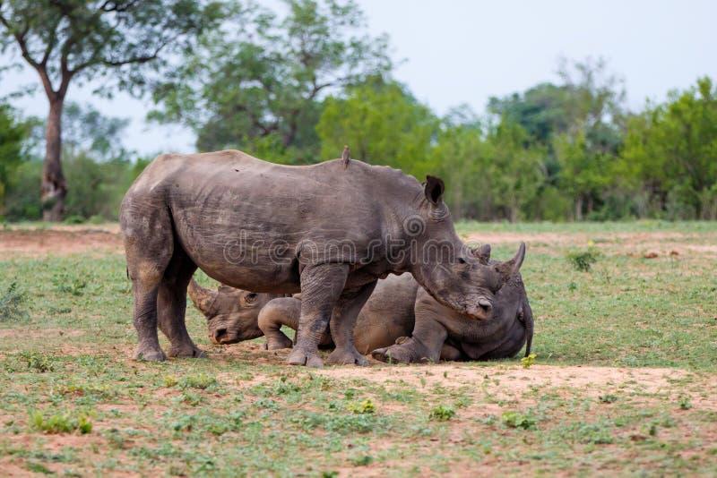 Rinoceronte branco em África do Sul fotografia de stock royalty free