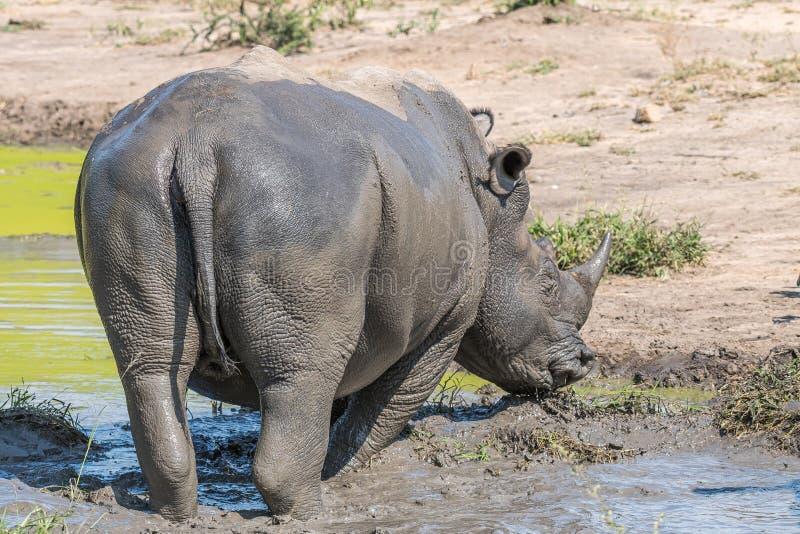 Rinoceronte branco em uma lagoa enlameada fotografia de stock
