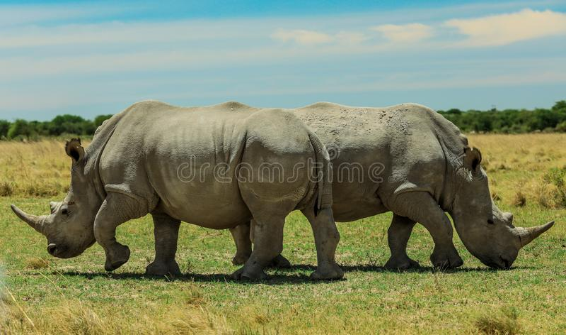 Rinoceronte branco no Nxai Pan Park, Botswana, África fotografia de stock