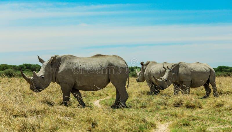 Rinoceronte branco no Nxai Pan Park, Botswana, África fotografia de stock royalty free