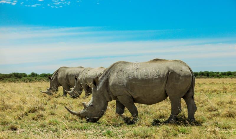 Rinoceronte branco no Nxai Pan Park, Botswana, África foto de stock royalty free