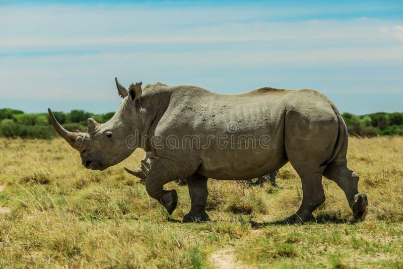 Rinoceronte branco no Nxai Pan Park, Botswana, África fotos de stock