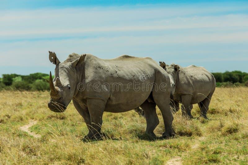 Rinoceronte branco no Nxai Pan Park, Botswana, África foto de stock