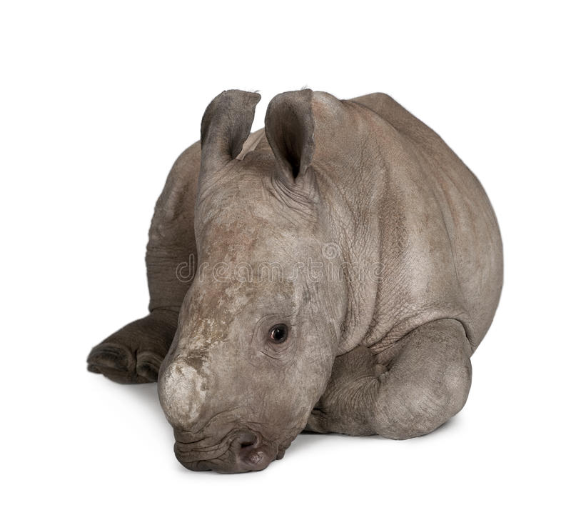 Rinoceronte branco novo de encontro ao fundo branco fotos de stock royalty free