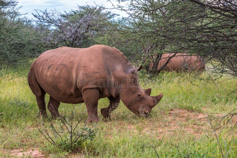 Rinoceronte branco, parque nacional do platô de Waterberg, Namíbia fotografia de stock royalty free
