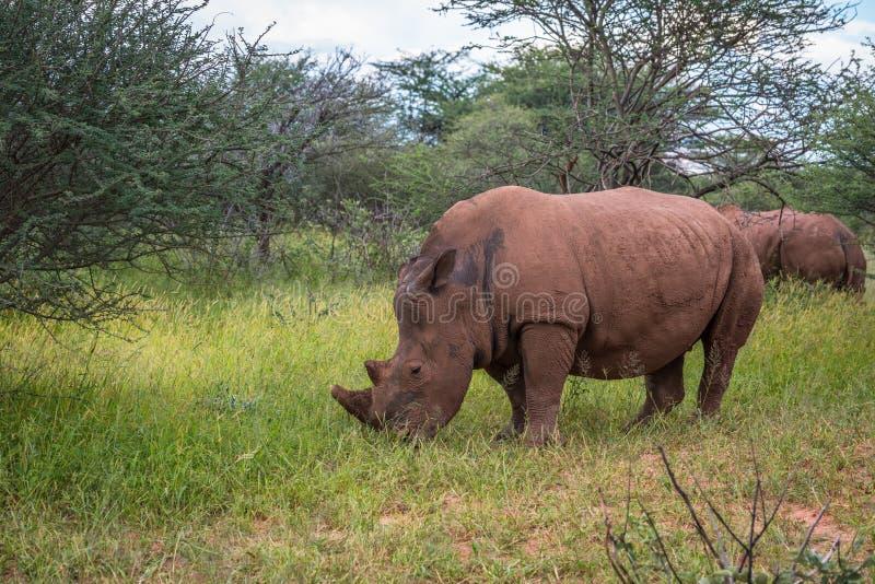 Rinoceronte branco, parque nacional do platô de Waterberg, Namíbia imagem de stock royalty free