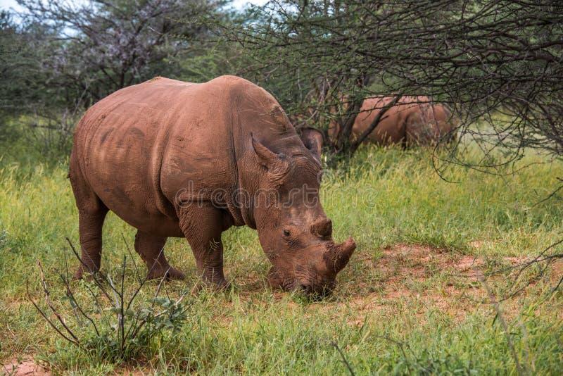 Rinoceronte branco, parque nacional do platô de Waterberg, Namíbia fotos de stock royalty free