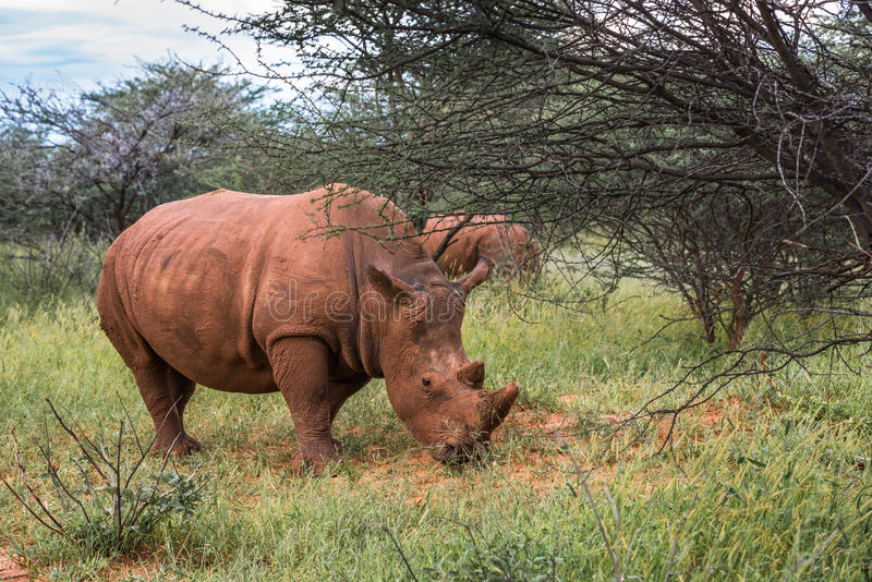 Rinoceronte branco, parque nacional do platô de Waterberg, Namíbia imagem de stock
