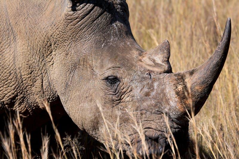 Rinoceronte branco posto em perigo fotografia de stock royalty free